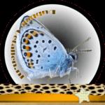 Vlinder betekenis Dubbele-Getallen Icarusblauwtje