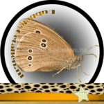 Vlinder betekenis Dubbele-Getallen Koevinkje