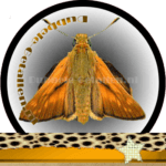 Vlinder betekenis Dubbele-Getallen Groot Dikkopje