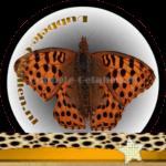 Vlinder betekenis Dubbele-Getallen Keizersmantel
